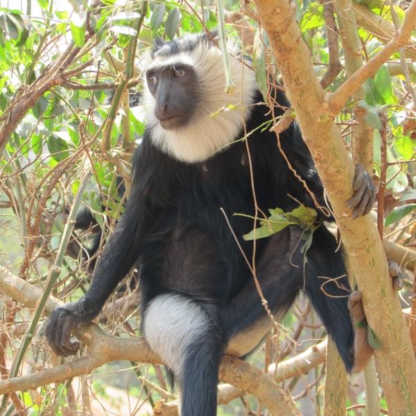 Colobus Monkey, Tafi Atome