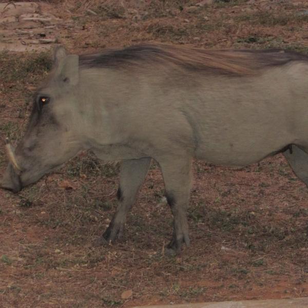 Mole National Park Warthog