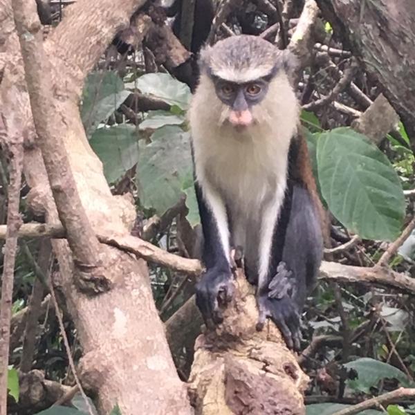 Mona monkey, Tafi Atome